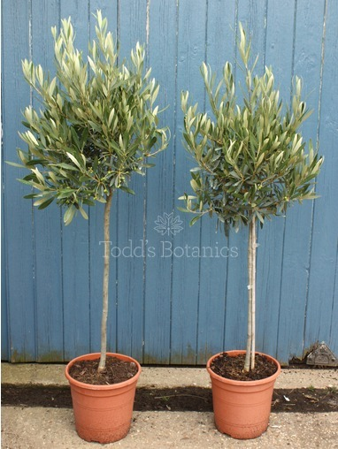 Bushy Olive Tree 4 foot-120cm tall