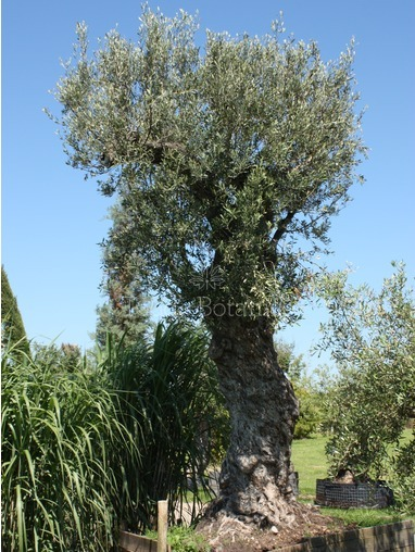 Biggest Olive tree in the UK