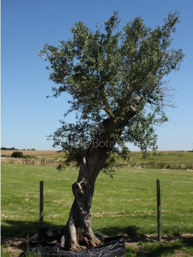 Ancient Olive Tree - (ref OL2999)