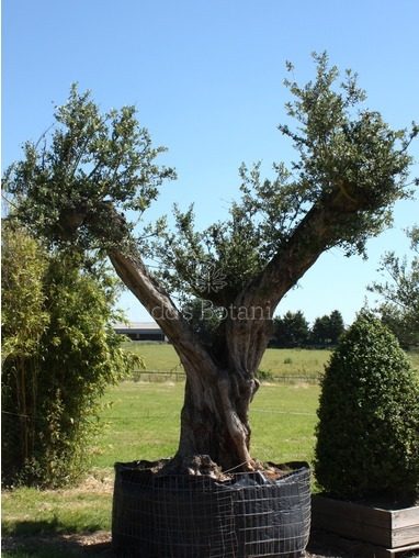 Ancient Twisted Olive Tree 380cm