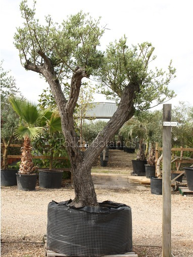 Multi Branched Olive Tree 350cm (ref1195)