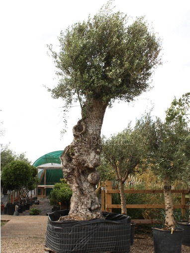 Enormous and Ancient  Olive Tree