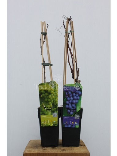Vitis vinifera twin pack Grapevine
