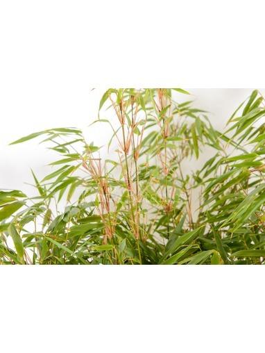 Fargesia rufa bamboo 1.00-1.20 metres
