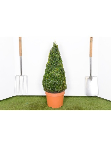 Buxus sempervirens. 60cm Box cone