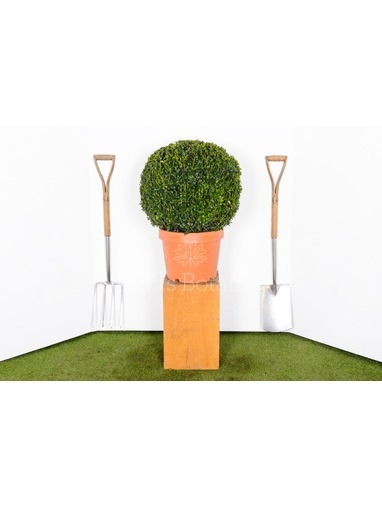 Buxus sempervirens. 50cm Box ball