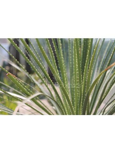 Hardy Palms Todd S Botanics