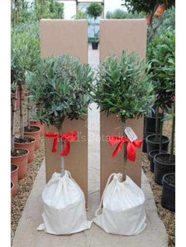 Pair of 1/2 Standard  Gift Wrapped Olive Trees