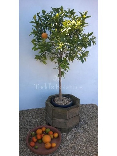 Large Orange Tree (Citrus sinensis)