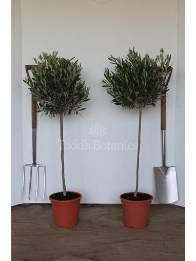 2x  Bushy Olive Trees 1/2 standard