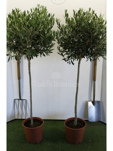 2x Large Olive Trees 3/4 standard