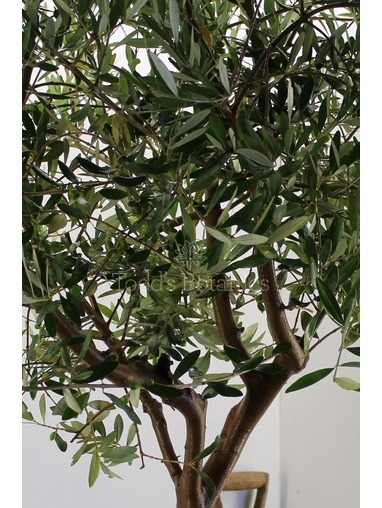 Spanish Olive Tree Great branch structure