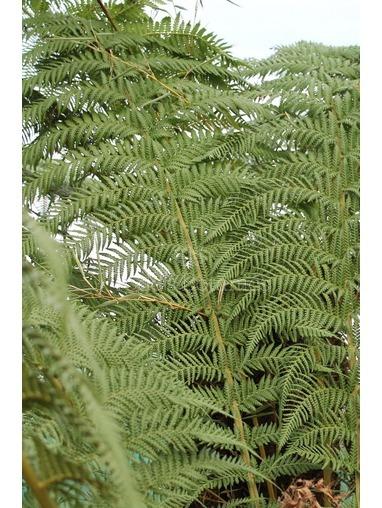 2 ft Tree Fern