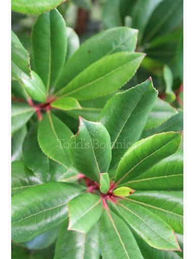 Arbutus unedo - evergreen shrub