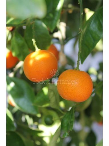 Gift Wrapped Kumquat Tree