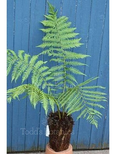 Potter Tree Fern