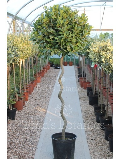 Extra Large Spiral Bay Laurus nobilis