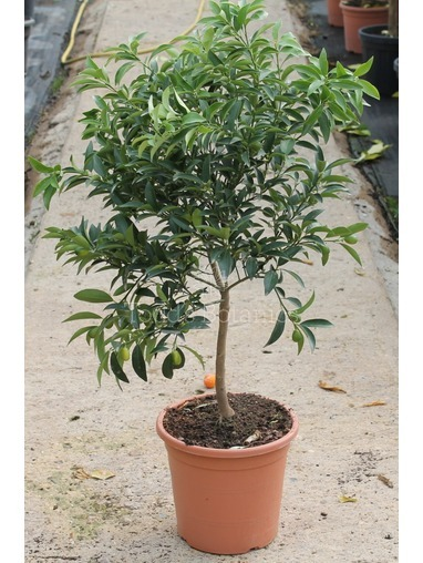 Half Standard Kumquat Tree
