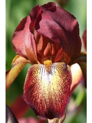 Iris 'Kent Pride'