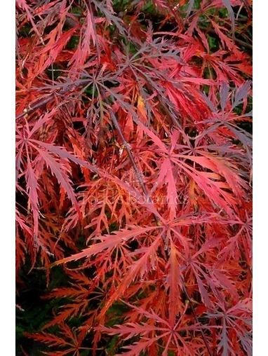Acer palmatum 'Dissectum 'Garnet'