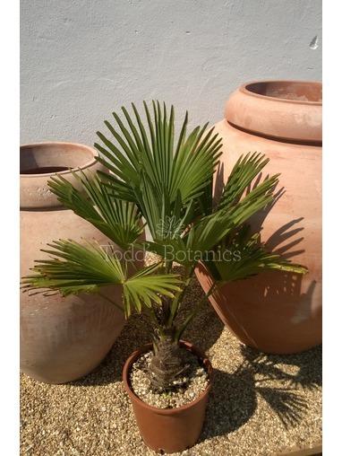 Trachycarpus wagnerianus