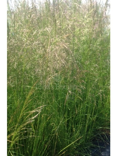 Deschampsia ces. 'Goldtau'