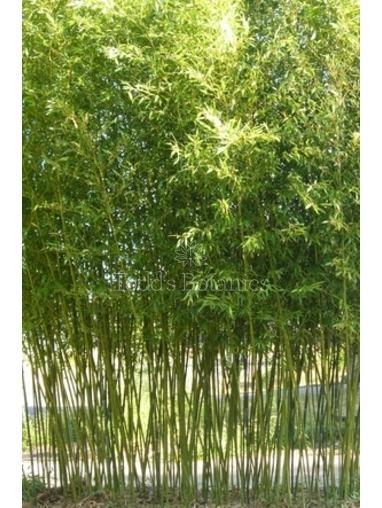 Phyllostachys bissetii 2-2.5m high