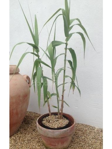 Arundo donax Macrophylla