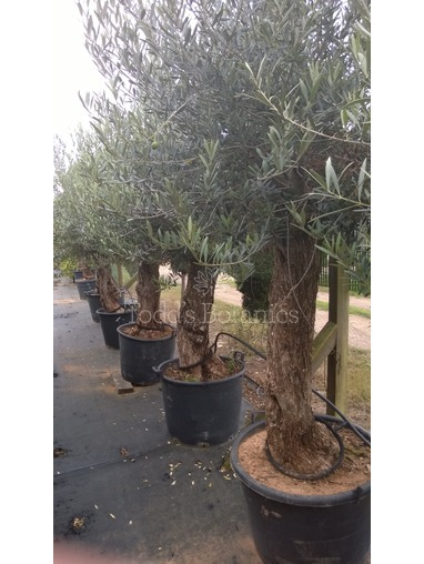 Large Olive Trees 35+ years old