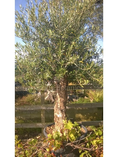 Olive Tree - 35-40 years old