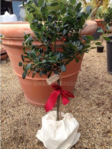 Gift Wrapped Holly - JC Van Tol