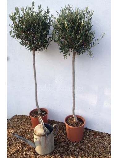 2x Large Olive Trees 3/4 standard