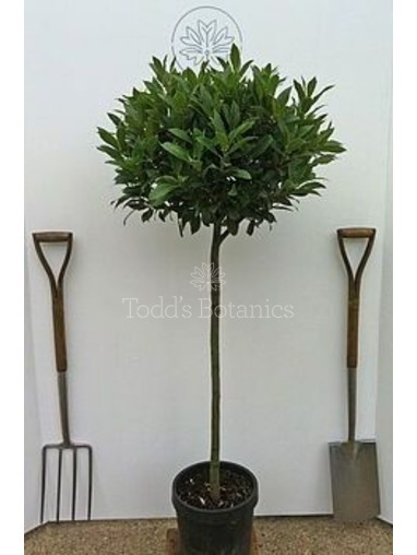Large (4/4 Standard)  Bay Tree - Gift Wrapped