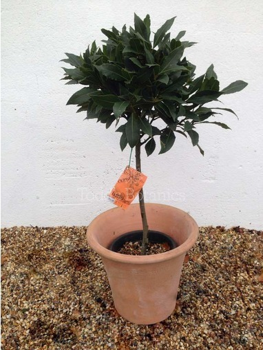 1/4 Standard Bay Tree Laurus nobilis