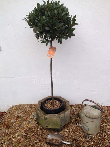 3/4 Standard Bay Tree Laurus nobilis