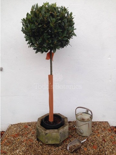 4/4 Standard Bay Tree Laurus nobilis