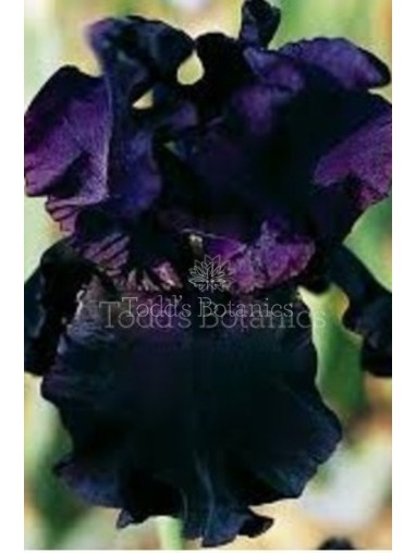 Iris 'Black Swan' x5 RHS offer