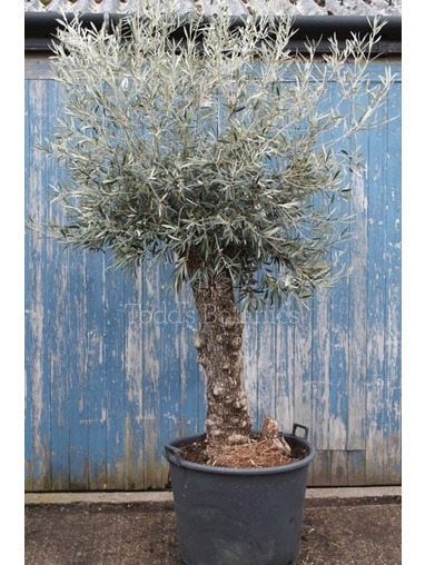 Ancient Olive Tree  1702495C