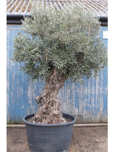 Ancient Olive Tree 17051295A