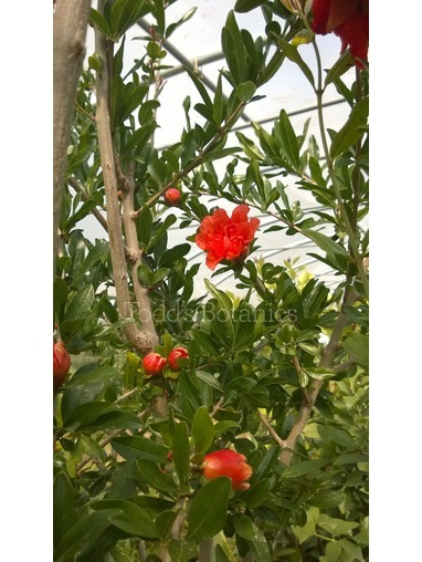 Pomegranate Tree B