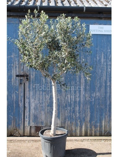 Mature Olive Tree - Strong Thick Trunk