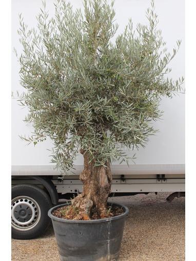 Old Olive Tree 1707695F