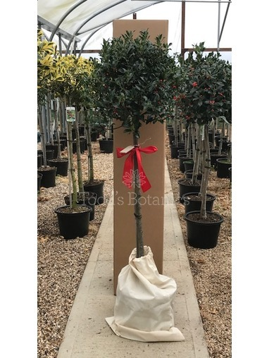 Gift wrapped Holly - Ilex aquifolium 'Alaska'