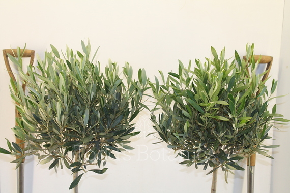 A pair of 1 2 standard olive trees for sale online todds for Olive trees for sale