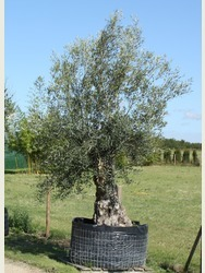 Stocky Gnarled Olive Tree - (ref 1300)