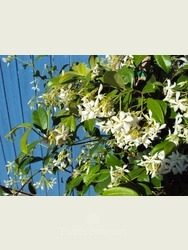 Trachelospermum jasminoides.