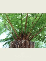 5 foot Tree Fern - Dicksonia antarctica