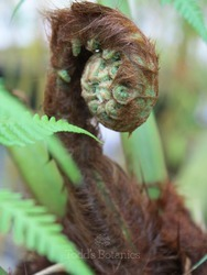 2 foot Tree Fern - Dicksonia antarctica