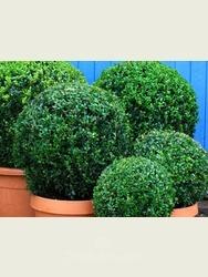 Buxus sempervirens. 50cm Box ball