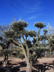 Cloud Pruned Olive Tree